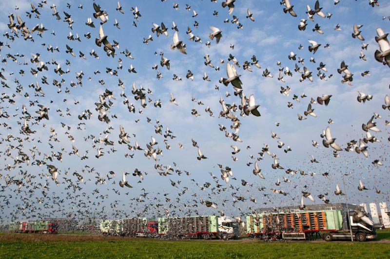 Lossing van duiven